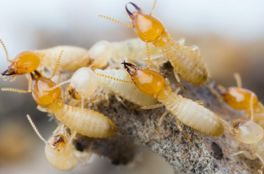 A lots of termite